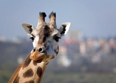 eyelash-giraff